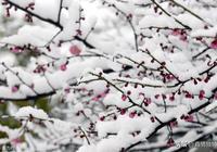 原創詩詞|七絕|梅雪情|青松為骨雪為魂,玉質冰清不染塵