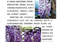 北京花訊:紫藤