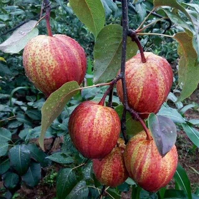 不要養月季了!此果樹院子裡種2棵,果肉脆甜產量高,比葡萄好吃