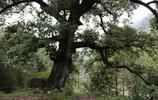 明朝種下的古樹,現在五個成年人才能抱住,村民們將其視為神樹!