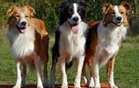 動物圖集:邊境牧羊犬