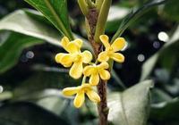 盆栽桂花花芽分化前別做這5件事,否則影響秋天開花