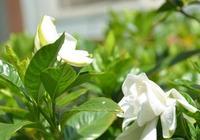 家裡梔子花枯萎葉黃,老園丁教你一招,不出1周長新芽