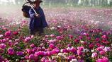 山西7旬農村老人耗時5年建芍藥花海,花開時節有件事出乎他的意料