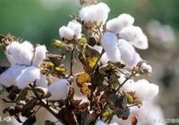 馬克隆值影響棉花價格800元