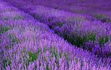 自然風光:伊犁河谷的薰衣草,不要錯過