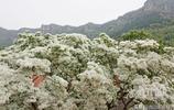 濟南長清山裡小院中一棵千年古樹正盛放人間最美四月雪!