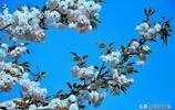 """蒙陰網紅""""櫻花大道""""花開正妍,最美的風景原來一直在身邊"""