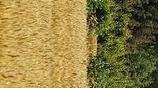 淮北平原上的麥子熟了,大忙季節已經開始,在外打工的你回來了嗎