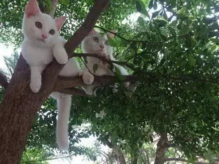 網友家的捲毛小貓,太可愛了,這是一隻讓人看後立馬想到泰迪的貓