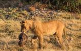 獅子捕獲穿山甲,卻無法下口,穿山甲毫髮無傷的逃走了