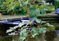 無花果盆栽的種植方法是什麼?