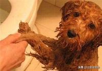 貴賓系(泰迪犬)狗狗洗澡標準流程,寵主及從業者看過來!