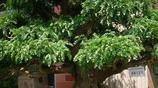 家居室內盆栽-青葉吊蘭-淨化空氣 吸甲醛 淨化空氣植物