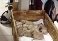 金毛覺得窩裡不對勁,數數寶寶多了一個,它下面的舉動太暖心!