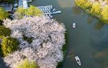 2019上海櫻花節迎來最佳觀賞期 櫻花綻放爭豔市民賞花熱情高