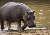 犀牛跟河馬誰厲害?