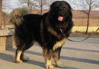 什麼猛犬可以打敗高加索犬?為什麼普京喜歡高加索犬?