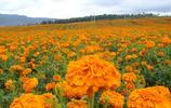 花卉大全——萬壽菊