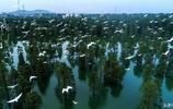 安徽一水庫 下方是水面森林 上空鷺鳥翔集 好似世外桃源