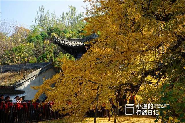幾萬遊人湧入古觀音禪寺,只為那株最美銀杏,有誰發現它變樣了?