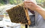 第一次看到蜂王的尊容原來它長的這個樣子拍幾張照片與讀者分享