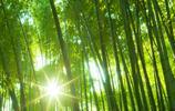 蒼天綠竹,清爽茂盛!財源興盛,原始大竹林超高清手機壁紙!喜歡拿走,特別是做生意的!