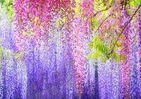 這幾種爬藤花卉,養在家裡,好看又遮陽,風景美如畫