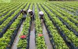 貴州大方:種上草莓後 村民忙致富