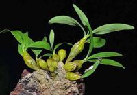 石斛蘭開花很具有觀賞價值,石斛蘭如何養護?