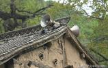 千年古村落村民敲鑼打鼓迎親人,看看他們來了把村裡熱鬧成啥樣子