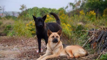 我們常見的串串狗到底是不是田園犬?看完解開多年疑惑