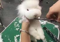 牽著兔子去理髮,牽著羊駝出來走