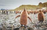 萌態十足!當攝影師張開雙臂 小企鵝學了起來