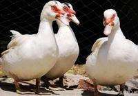 豬場沒了,番鴨可以養嗎?番鴨細小病毒病的防治
