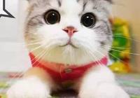 折耳貓的命中註定基因的悲哀