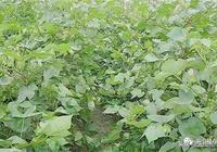 棉花過度生長是影響棉花產量的原因,過度生長的原因是什麼?