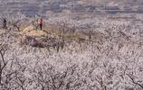 濟南張夏萬畝杏花競相開放,漫山遍野的杏花令人目不暇接