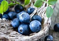 許多人把藍莓當盆栽養,藍莓經濟價值高,種藍莓需要注意什麼呢?