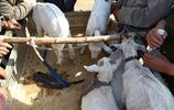 農村大集羊市真熱鬧,百米之遠,錢還未攥熱乎淨賺80元,看咋回事