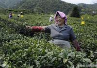 """被人們尊稱為""""紅茶皇后"""",祁門紅茶的營養成分分析"""