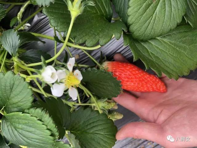 【新品】形似香蕉、奶味十足,這樣的草莓,您見過嗎?