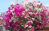 庭院不要在亂種花啦,這幾種爬藤花卉,新手也能輕鬆養活