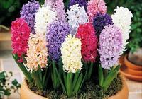 葡萄風信子花采用天然種植為主、人工控制為輔的種植技術