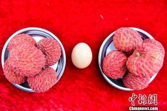 海口舉行荔枝王比賽 冠軍荔枝大如雞蛋價格5000元一個
