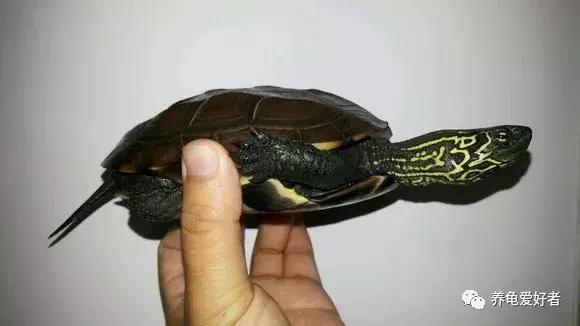 關於雌性草龜的一些品相鑑賞
