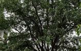八旬老人一生照看能治病能洗髮能沐浴能洗衣服的一棵樹,萬元不賣