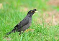 八哥,鳥類世界的聲優,喜愛八哥的來看看飼養注意哪些!