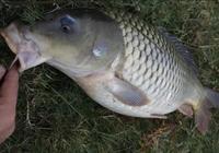 長江大湖野釣,祕製麥子窩料釣武昌魚,釣獲一條14斤的野生鯉魚