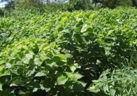 飼料桑——養殖業的新型飼料資源